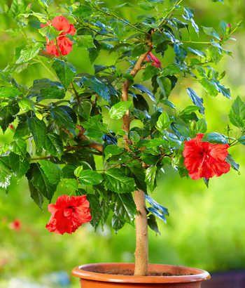 Hibiscus d\'intérieur : conseils d\'entretien, culture et ...
