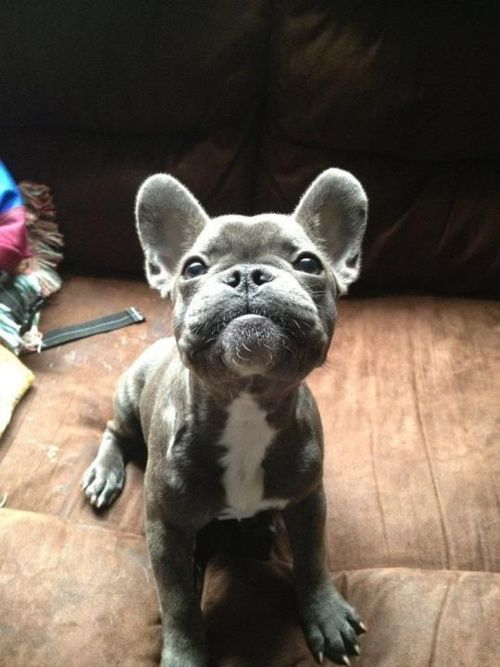 I Would Love To Have A Grey French Bulldog And Name Him Porkchop