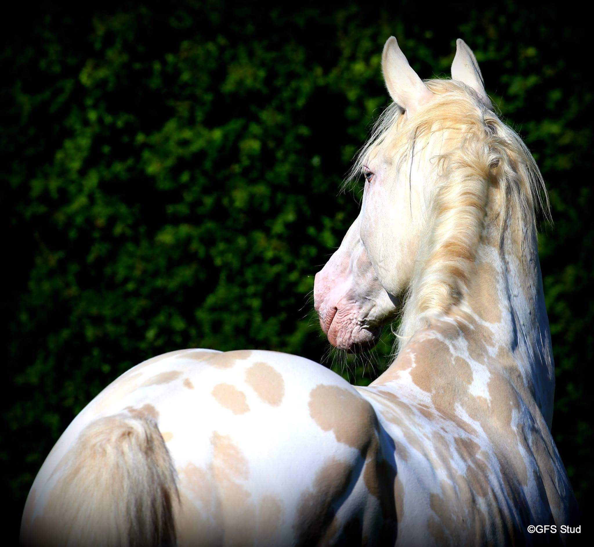 Fire N Ice Beautiful Appaloosa Rare Horses Horse Breeds