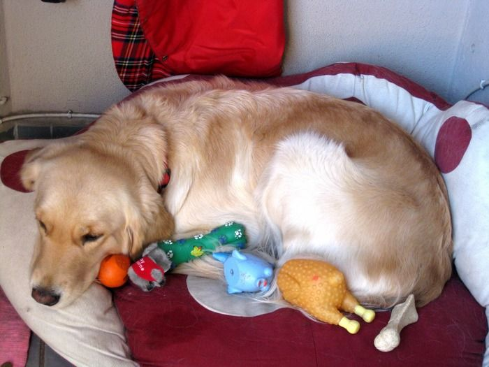 gravidez psicológica em cães