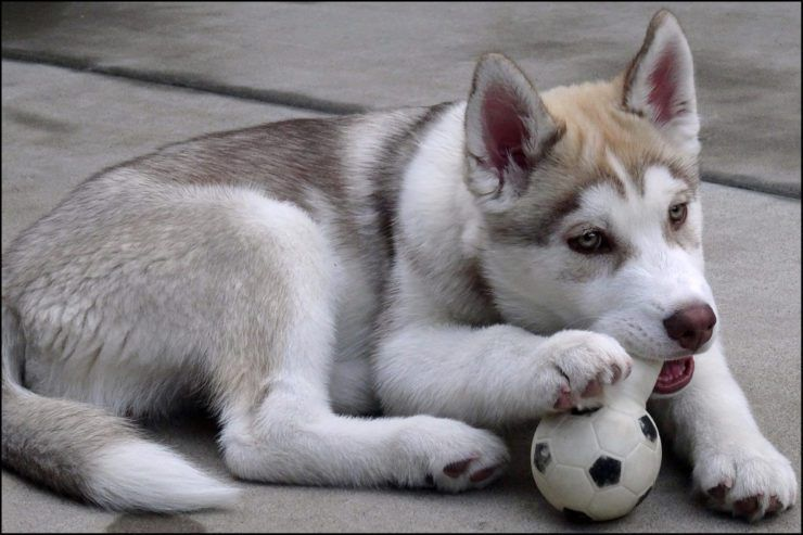 Siberian Husky Puppy Playing With A Toy Huskypuppy Siberianhusky