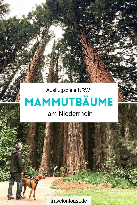Mammutbäume in NRW: Sequoiafarm Kaldenkirchen