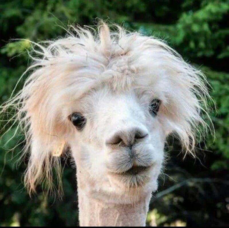 Es Gibt Regen Meine Haare Wilde Frisuren Susseste Haustiere Alpakas
