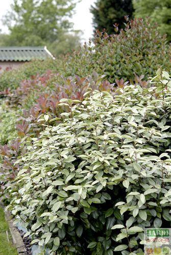 eleagnus ou chalef un arbuste aussi utile que beau. Black Bedroom Furniture Sets. Home Design Ideas