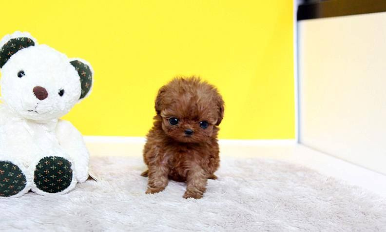 Teacup Poodle Micropoodle 2 5lbs Fully Grown Could Be Yours For