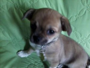 Adopt Babe On Petfinder Chihuahua Mix Chihuahua Dogs Designer Dogs