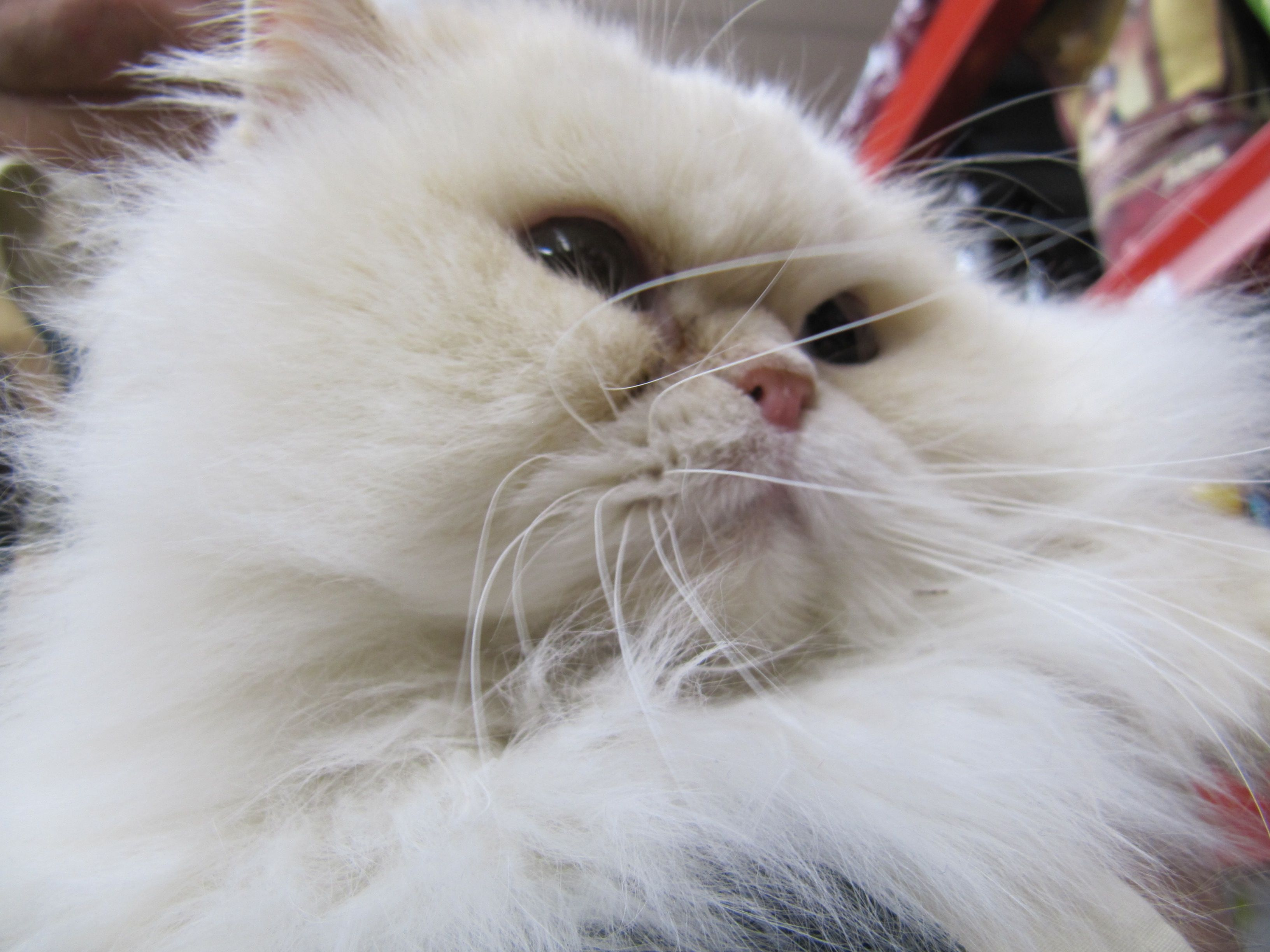 Anastasia Adopted Look At This Fantastic Beauty Anastasia Is A Flame Point Himalayan Female 1 Yr Declawed This Incredible Darling Was Abandoned Outdoors