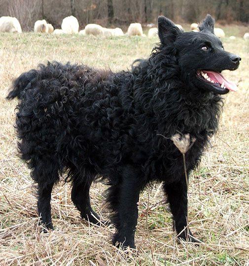 Croatian Sheepdog 15 Unique Dog Breeds Purebred Dogs Rare Dog Breeds