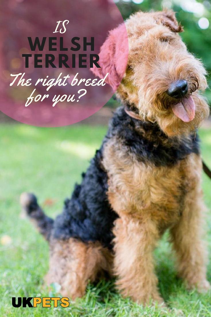 Welsh Terrier Dog Breed Information Uk Pets Welsh Terrier Terrier Terrier Dog Breeds
