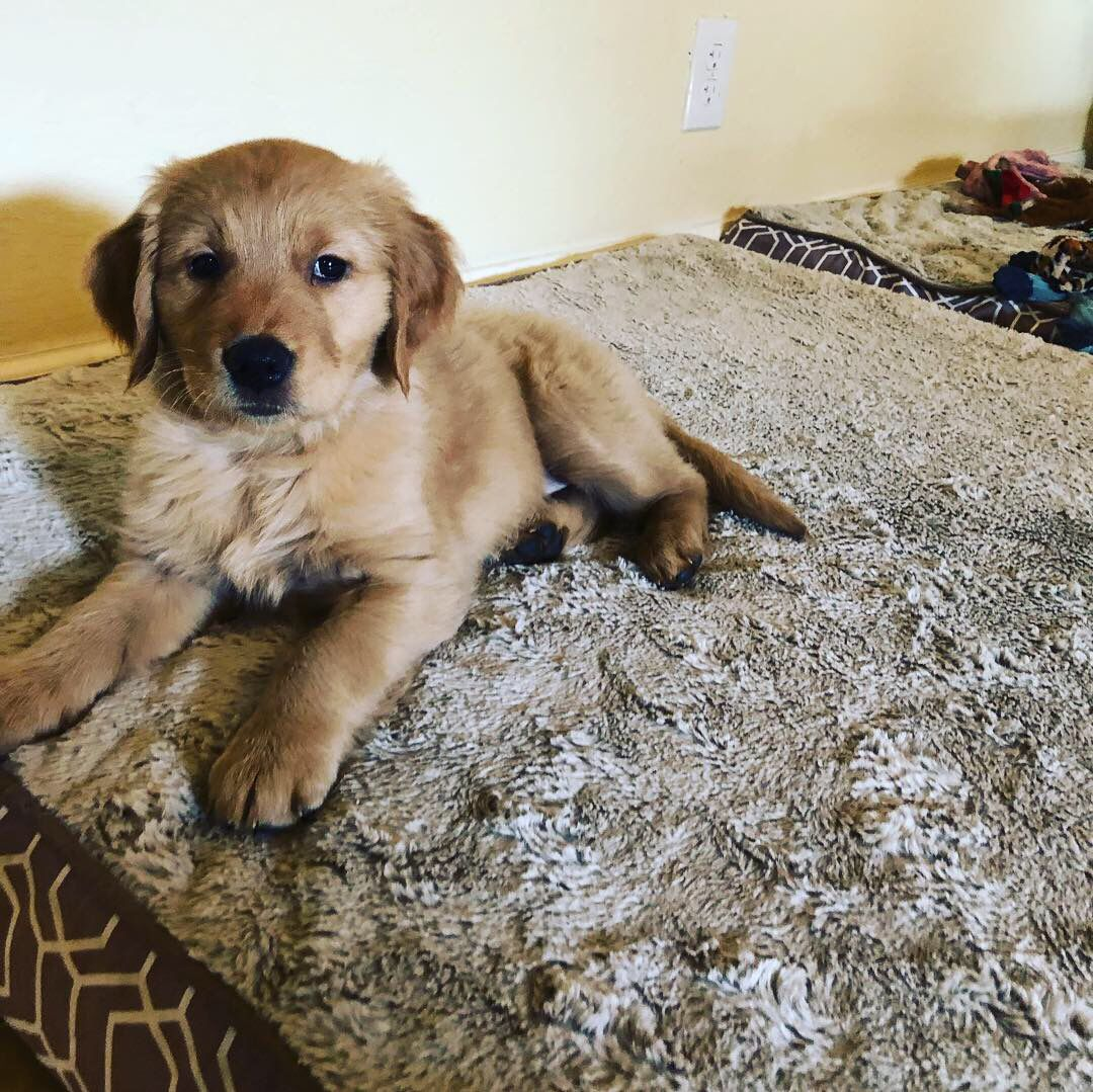 Goldenretrieverpuppies Goldenretriever Puppy Ruby 3rdogs