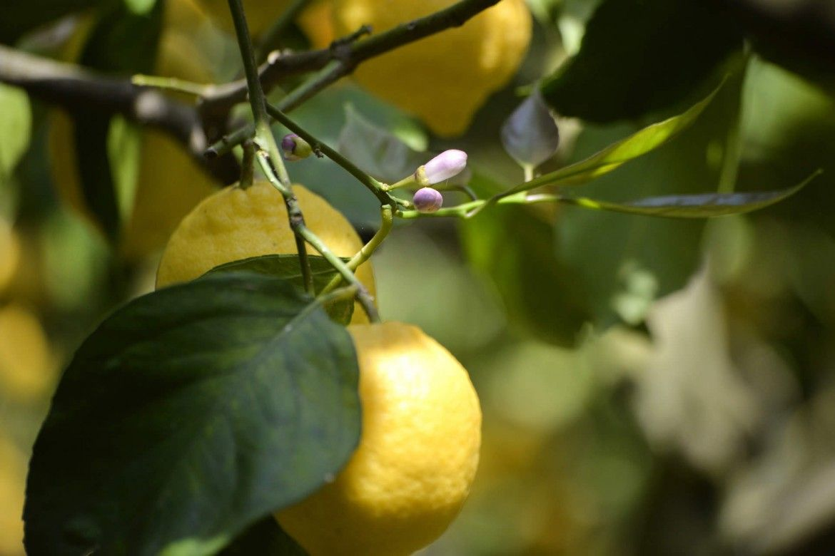 For decades our Limoncello Limonoro has been made from a careful and meticulous selection of the best lemons of Sorrento