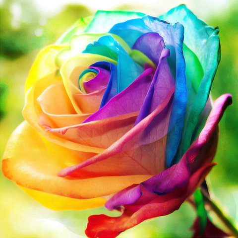 25 rare holland rainbow rose flower seeds rama deals for How to color roses rainbow