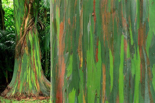 A Tree Just For The Gays Eucalyptus Deglupta Rainbow Eucalyptus