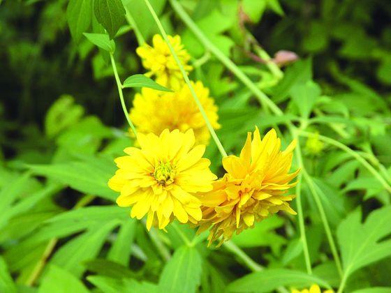 Rudbekie Ladne Kwiatki Z Oczkiem Plants