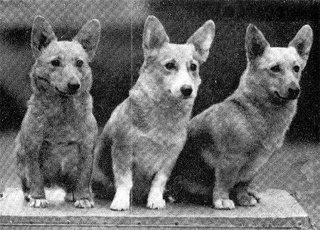 1930s Pembroke Welsh Corgis Corgi Corgi Dog Welsh Corgi