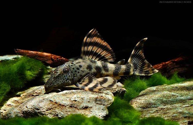 Peckoltia Furcata By Enrico Richter L008 Peckoltia Plecos Plecostomus Pleco Plecoholics Plecolife Fish Aquarium P Fish Aquarium Fish Beautiful Fish