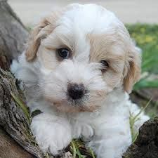 Maltalier Google Search Puppies Puppies For Sale Puppy Palace