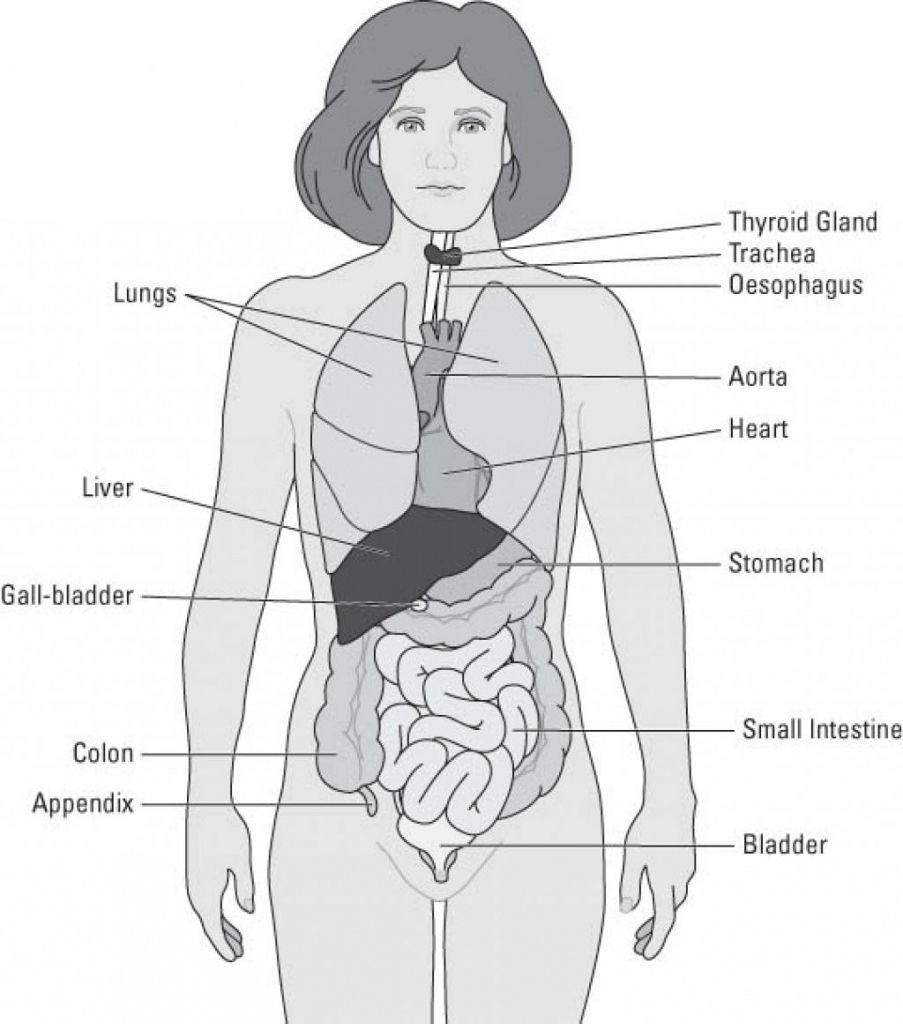 simple human anatomy diagram simple human anatomy diagram awesome simple human body organs diagram body [ 903 x 1024 Pixel ]