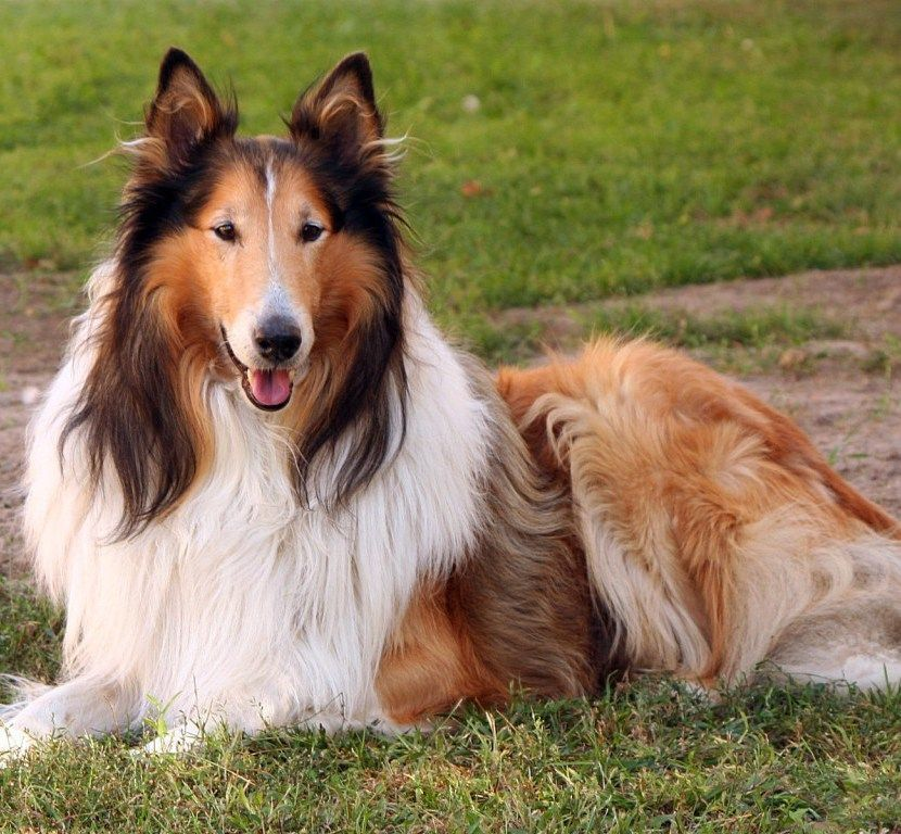Collie Rough Collie Puppies Dog Breeds Rough Collie