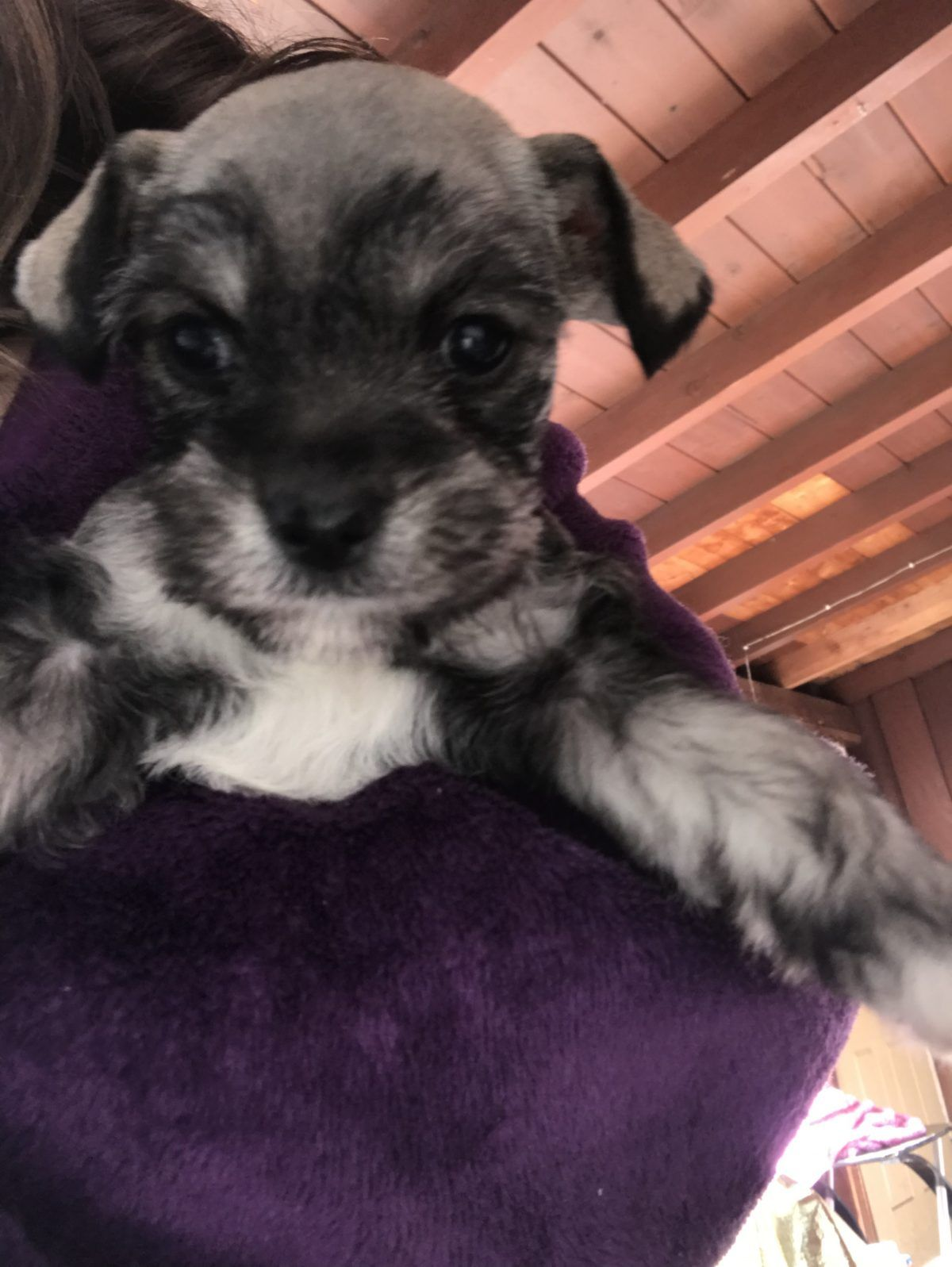 Rocky A Devoted Male Miniature Schnauzer Puppy For Sale From San Diego California Miniatureschn Miniature Schnauzer Puppies Schnauzer Puppy Schnauzer Breed