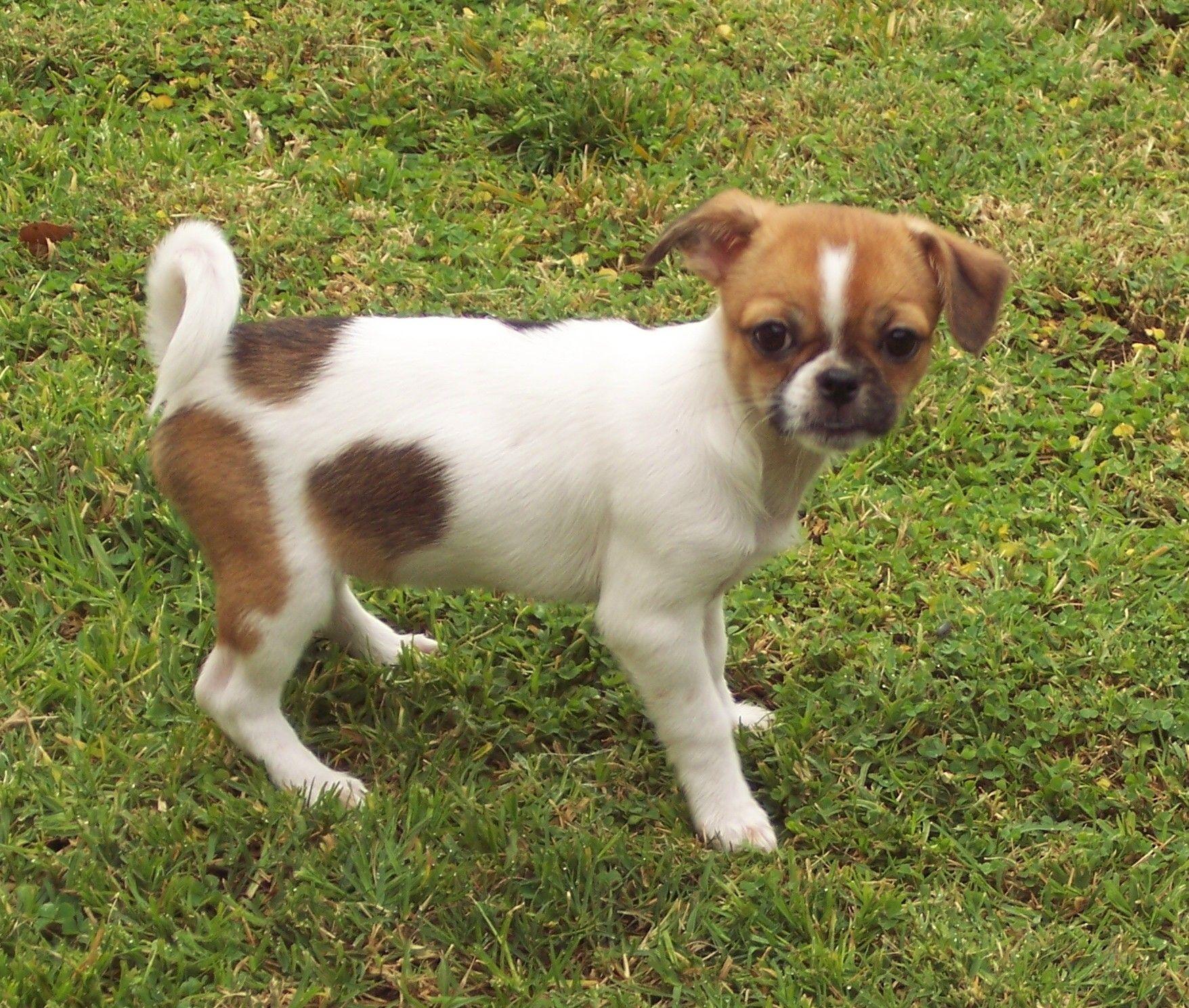 Japanese Chin Chihuahua Chin Wa Japanese Chin Chihuahua