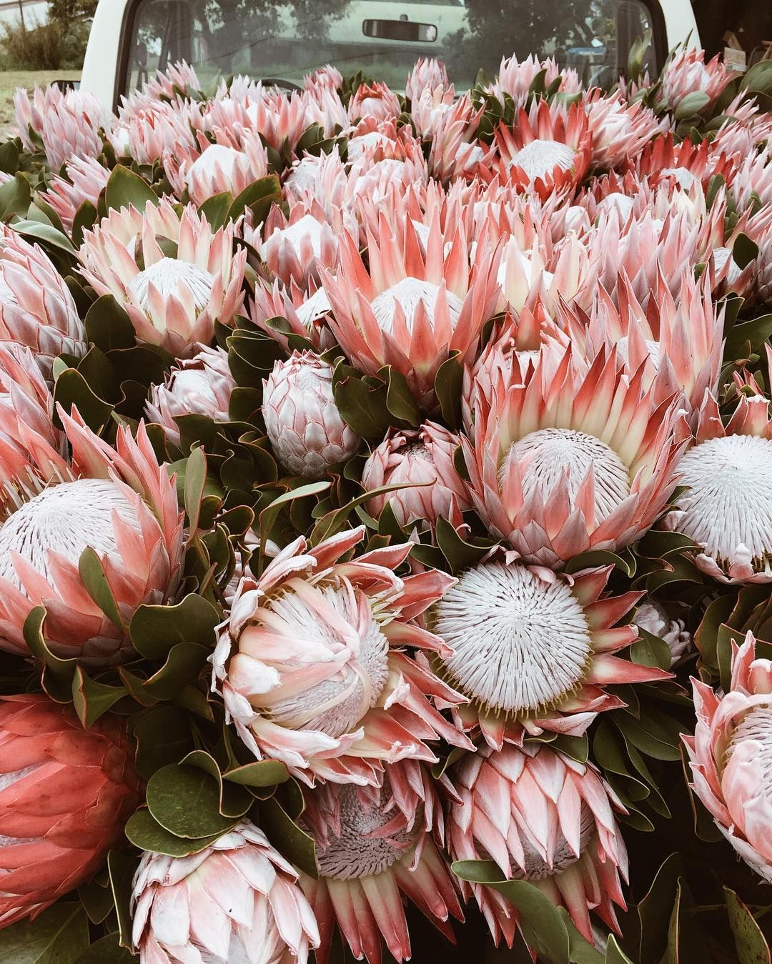 Tinyatlas On Instagram King Proteas For Your Sunday From Our Flower Farm Visit On Maui Mytinyatlas Ernathan Flower Farm Protea Flower Flowers