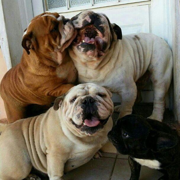 The Cutest Bulldog Family You Ll Ever See Cute Bulldogs Bully