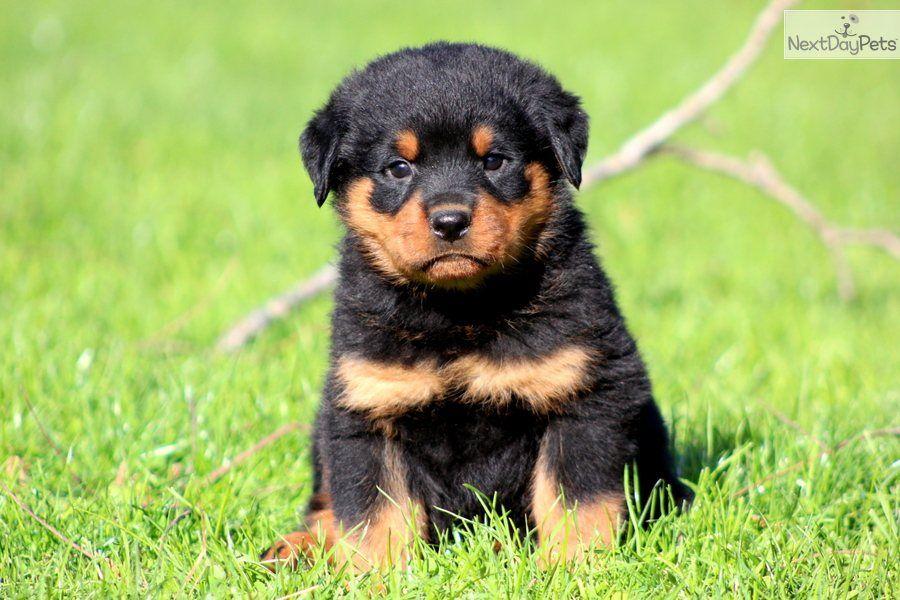 Rottweiler Puppy Rottweiler Puppies Puppies Rottweiler Dog