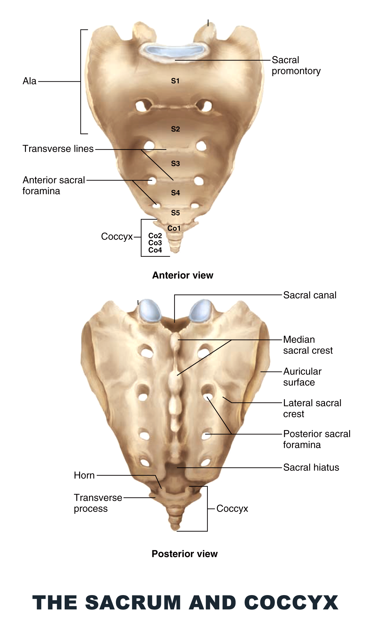 The Sacrum and Coccyx - #anatomy images illustrations #anatomy ...