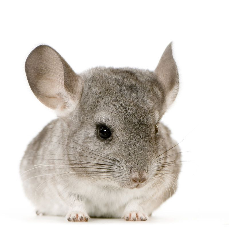 Chinchilla Young Chinchilla In Front Of White Background