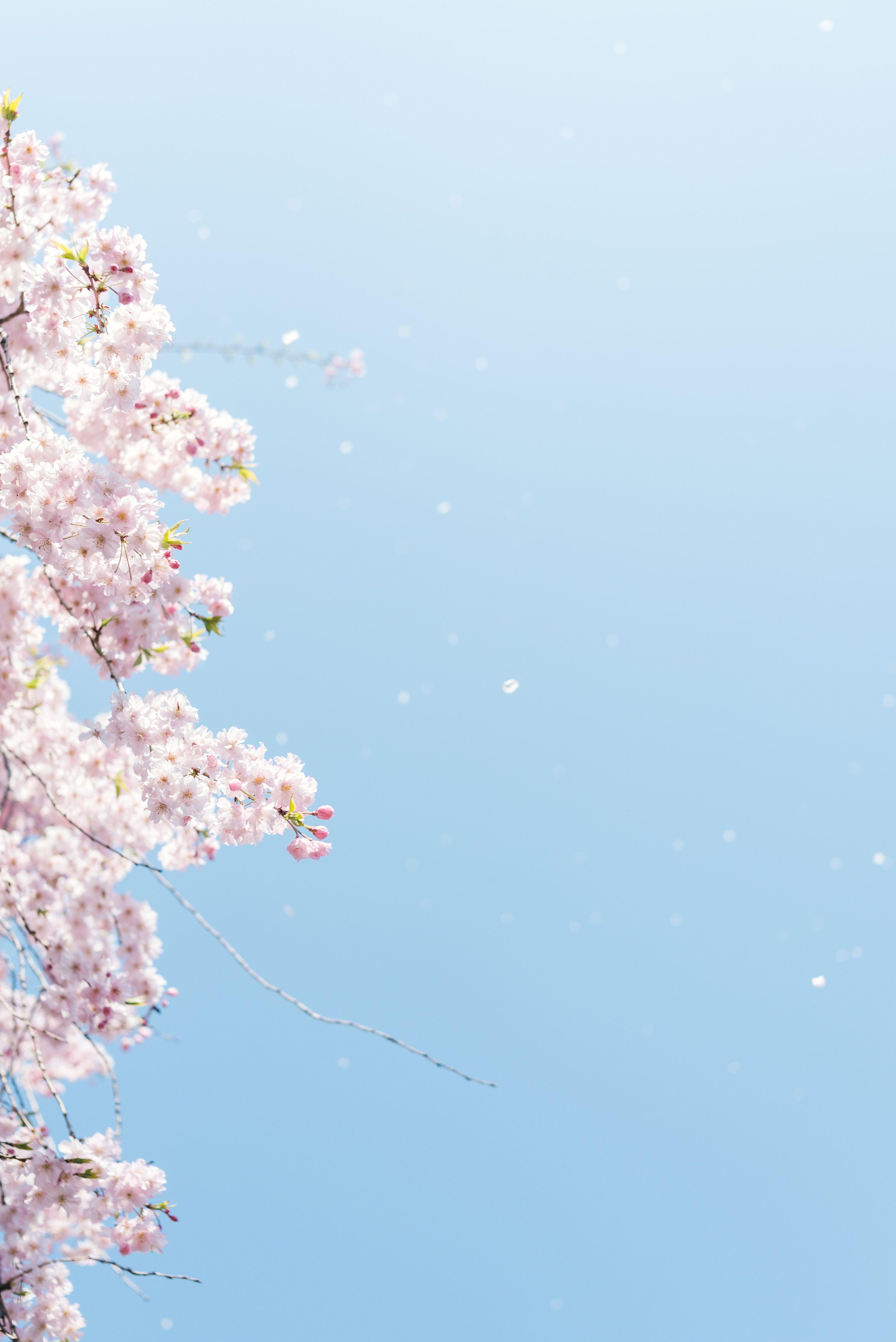 Shinjuku Gyoen National Garden Shinjuku Ku Japan Cherry Blossom Under Blue Sky N Cherry Blossom Wallpaper Cherry Blossom Pictures Cherry Blossom Background