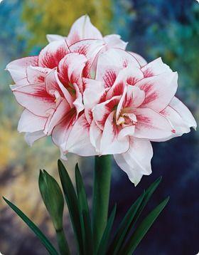 Double Amaryllis Elvas Amaryllis Bulbs Bulb Flowers Amaryllis Flowers