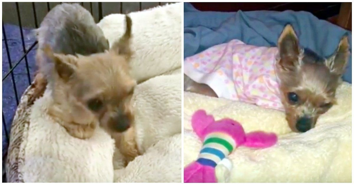 Puppy Mill Rescue Dog Has No Idea What To Do With The Comfort Of A