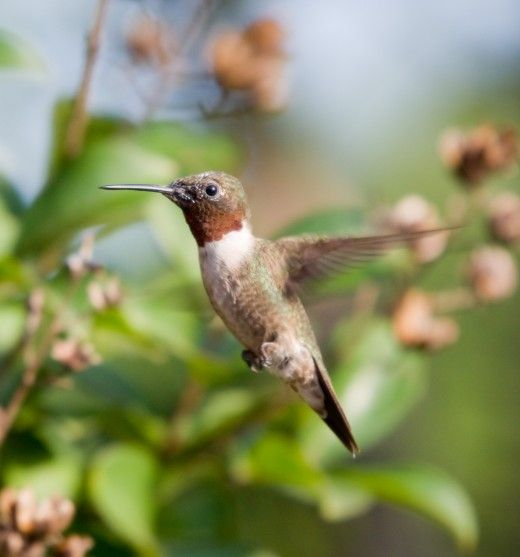 Attracting Hummingbirds To The Backyard Garden By Growing
