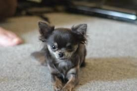 3 Pound Long Haired Chihuahua This Looks Exactly Like My Cammie