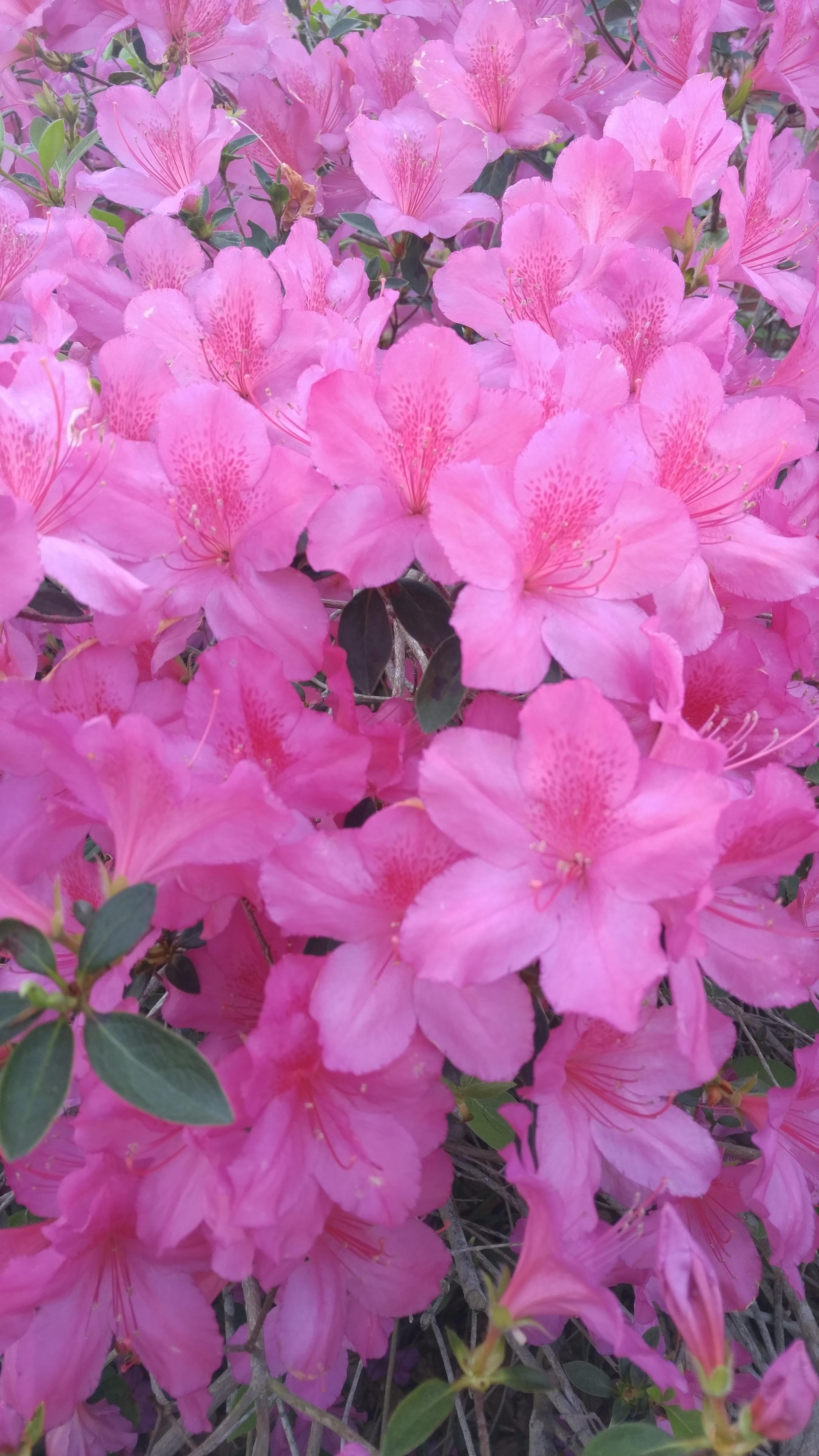 Beautiful Azaleas. Zone 9b #gardening #garden #DIY #home # ...