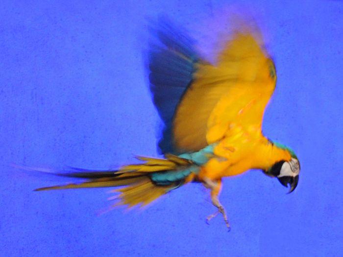Papukaija (Kuva: Annakaisa Ojanen)