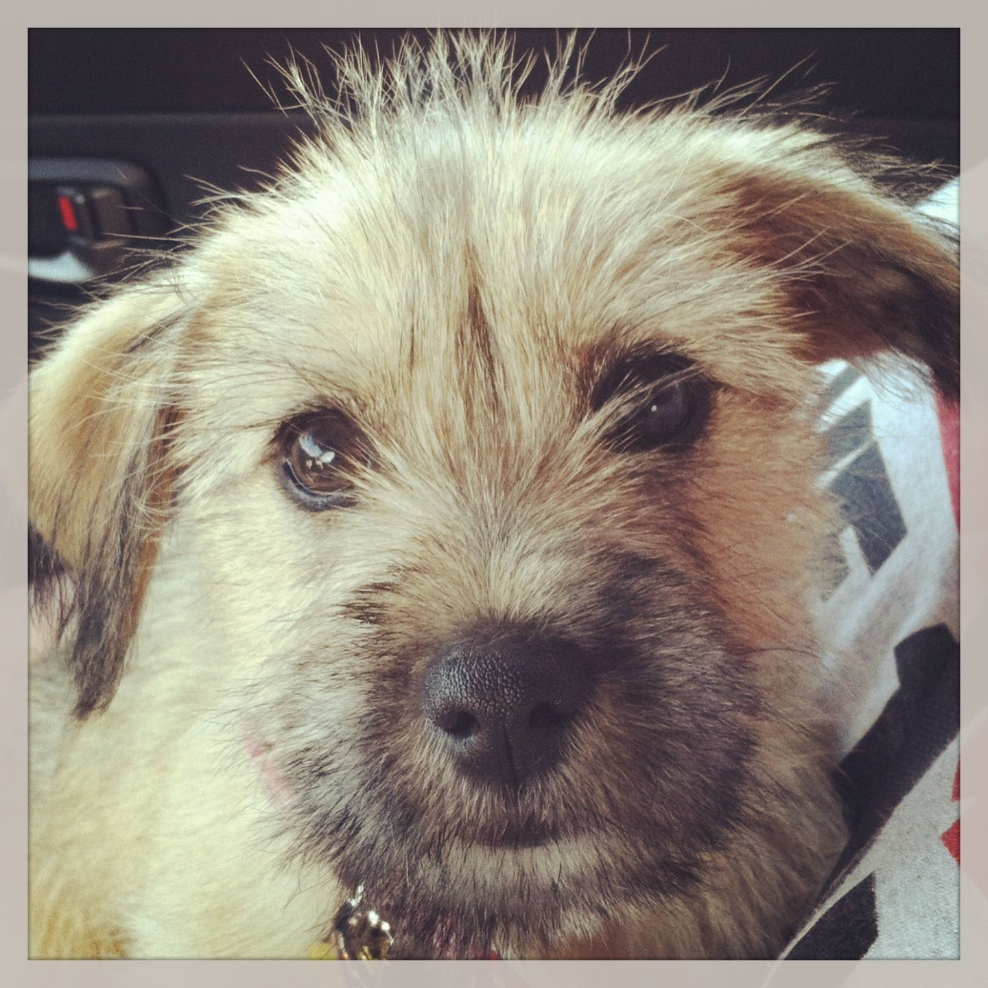 Wire Haired Cairn Terrier This Is Macie With Images Cairn