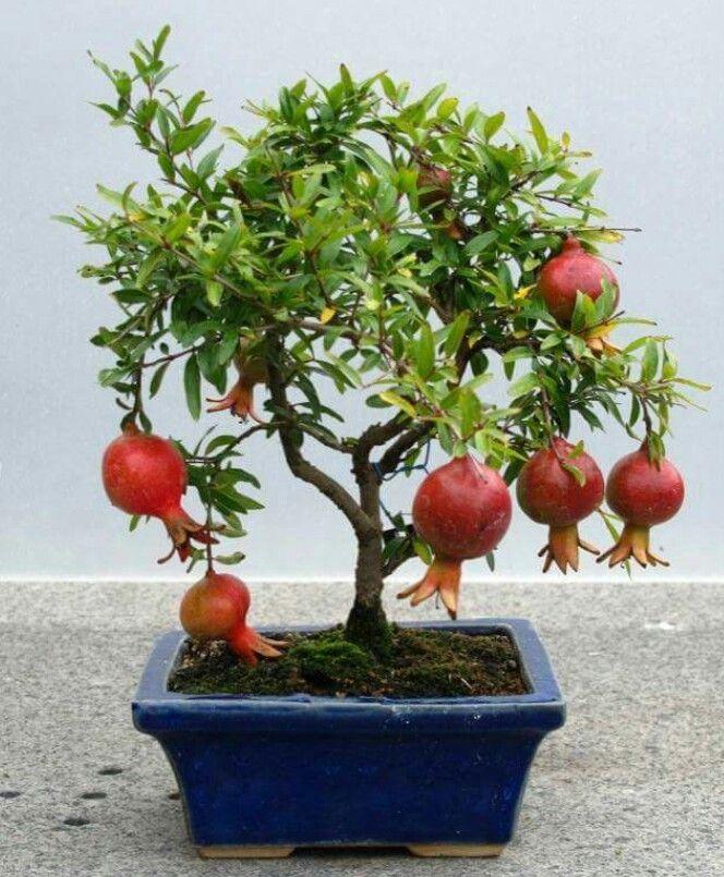 Bonsai fruit
