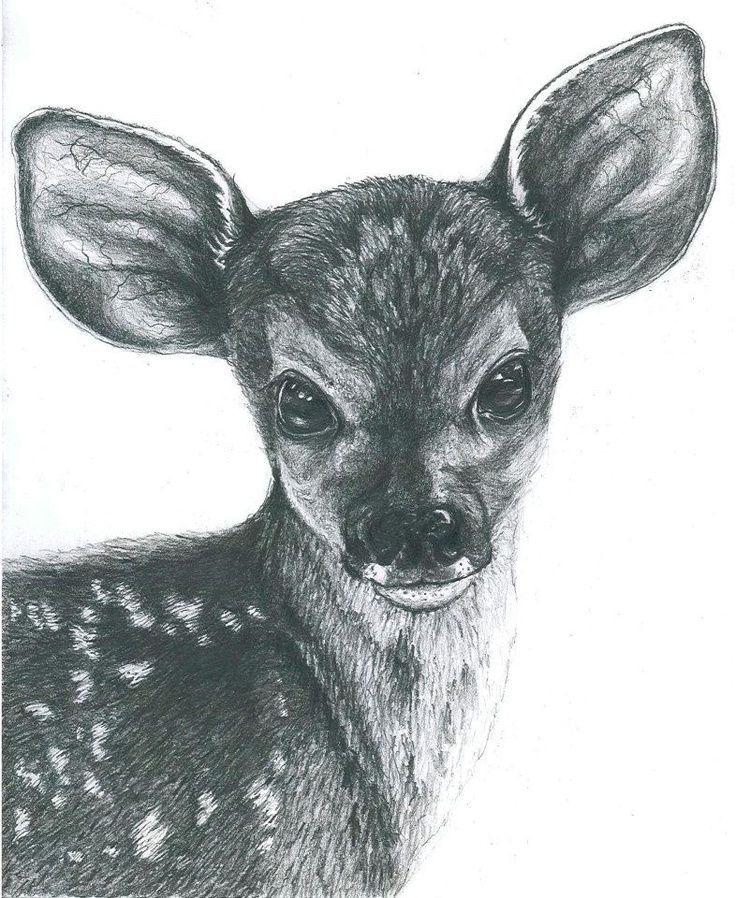 fawn pencil drawing by elizabeth shafto