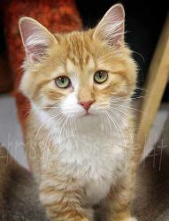 Gizmo is an adoptable Domestic Short Hair - Orange And White Cat in Elbow Lake, MN.  Gizmois an affectionate andsocial kitten.  He ismedium haired orange tabby with white spots, or what I would ca...