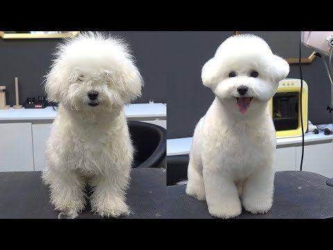 Imag021a Jpg 741 575 Pixels Bichon Frise Bichon Bichon Frise Puppy