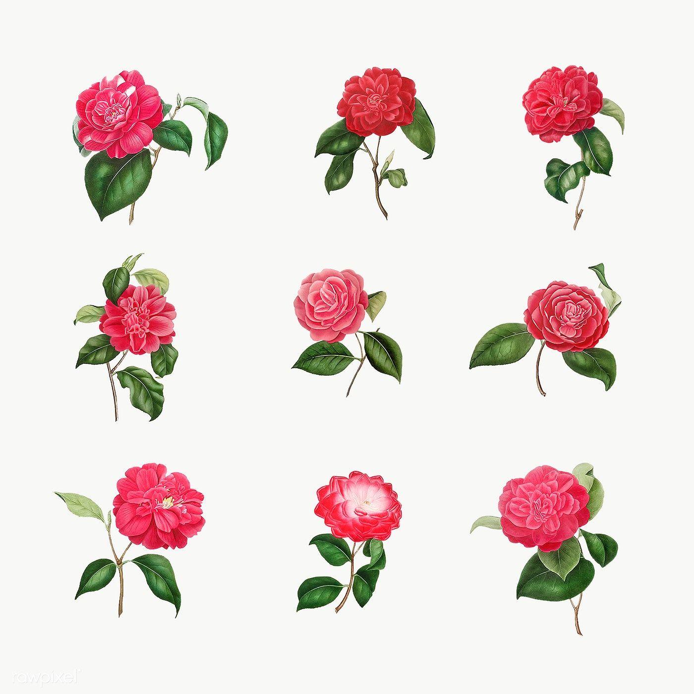 Download Premium Png Of Set Of Vintage Camellia Roses Transparent Png In 2020 Flower Illustration Rose Illustration Flowers