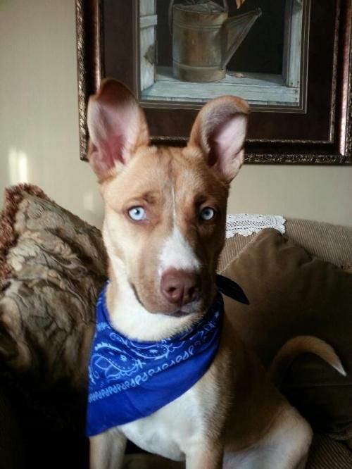 Adopt Layla On Husky With Blue Eyes Husky Mix Dogs