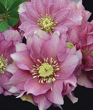 Helleborus, Wedding Party Maid of Honor, , large