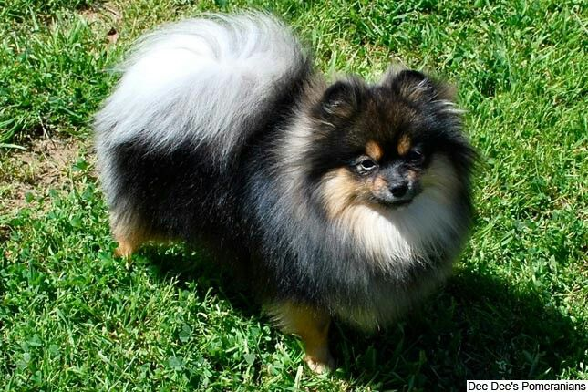 Black And Tan Pomeranian Puppy Pomeranian Puppy For Sale