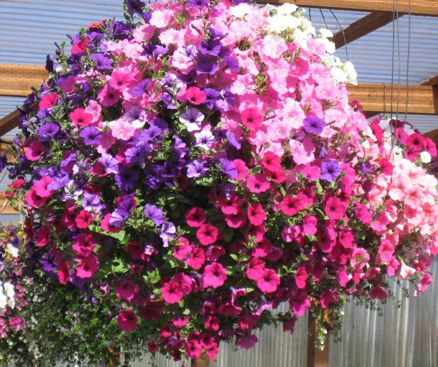 42 petunia grand prix trailing summer basket plug plants ready now petunias just love the sun and now with the many new varieties of petunias on the market the days of having to dead head your plant of its flowers to mightylinksfo