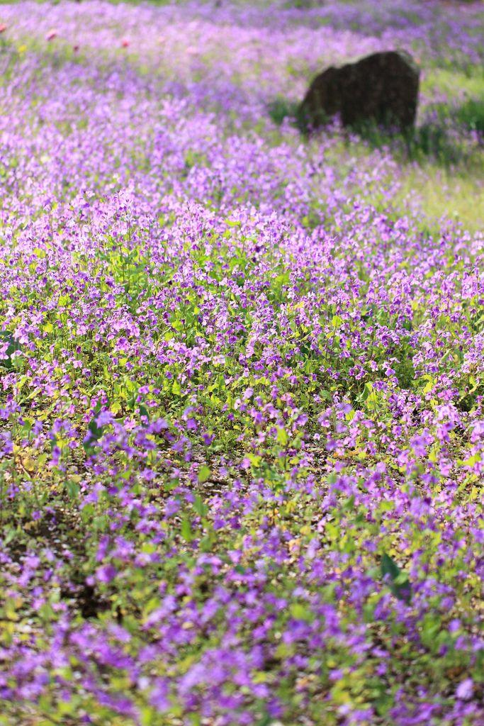 Chinese violet cress / Orychophragmus violaceus / 紫花菜(ムラサキハナナ)