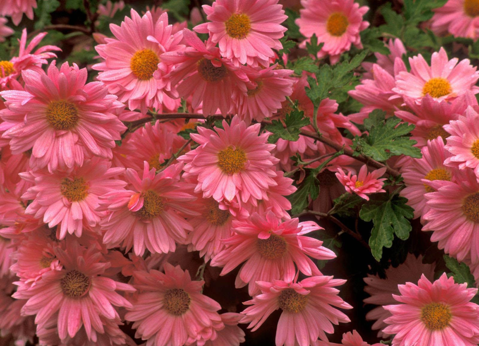 Hd Wallpaper Pink Flowers Wallpapers 4k Pinterest Pink Daisy