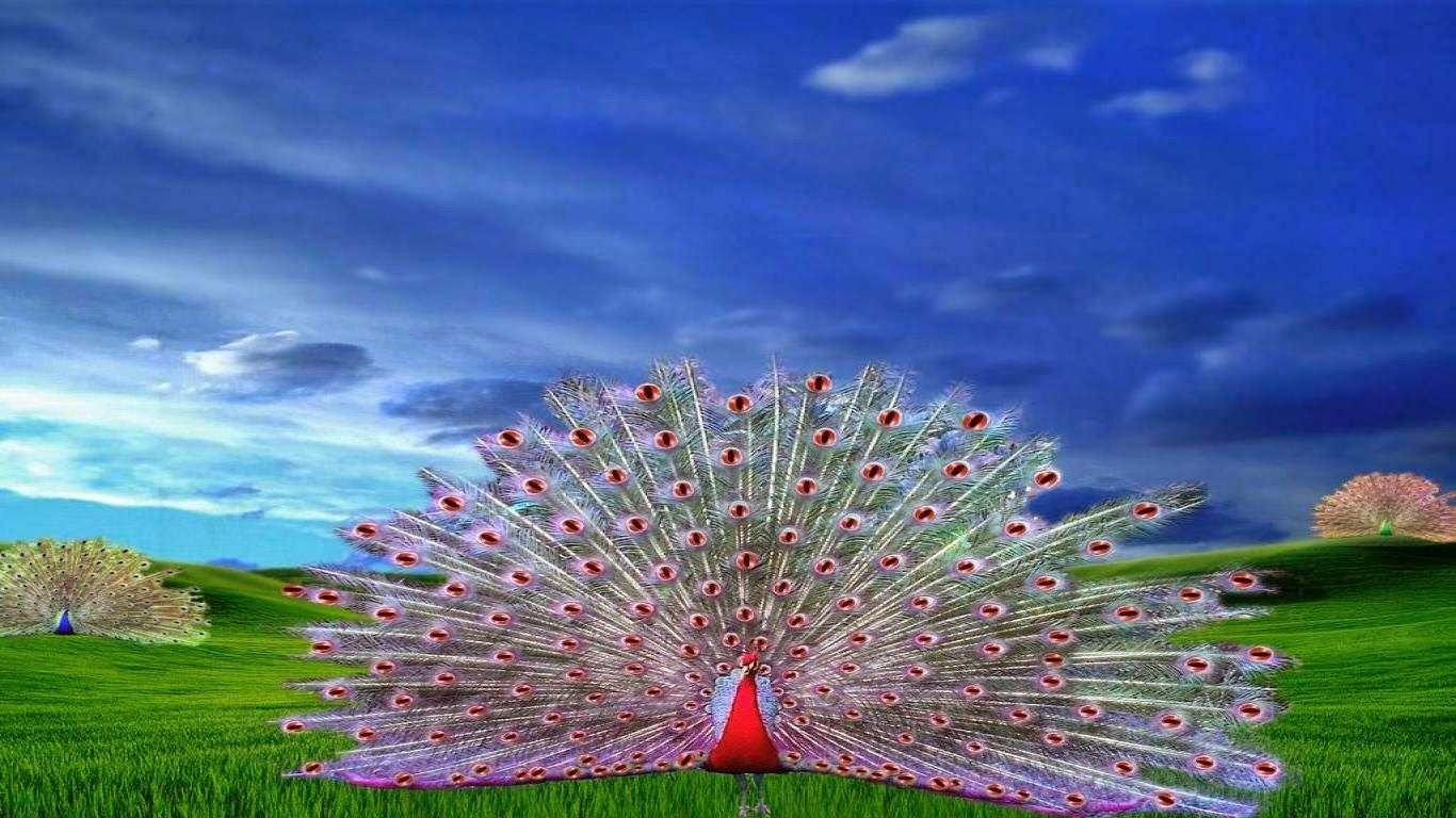 Peacock Images Pictures Wallpaper & Photos Download